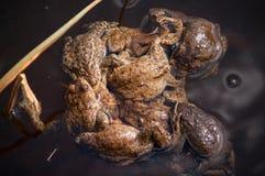 青蛙交错(青蛙缠结) 库存照片
