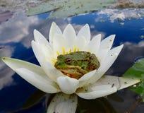 青蛙公主!坐在等待她的王子的池塘 免版税库存图片