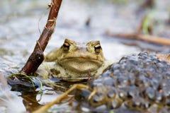 青蛙卫兵 图库摄影
