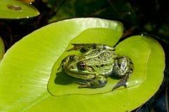 青蛙叶子百合水 免版税图库摄影