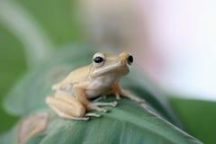 青蛙叶子结构树 图库摄影