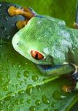 青蛙叶子 库存照片