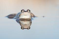青蛙和反射 库存图片