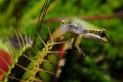青蛙和平的被困住的结构树 库存图片