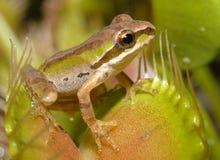 青蛙和平的陷井结构树 库存图片