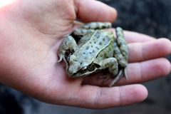 青蛙和手 免版税库存图片