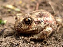 青蛙和沙子 免版税库存图片