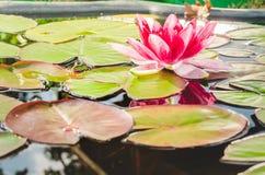 青蛙和百合花 有青蛙和百合的花的一个池塘 r 免版税库存图片