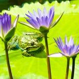 青蛙和莲花关闭的图象 免版税图库摄影