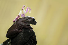 青蛙和螳螂 免版税库存图片