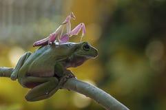 青蛙和螳螂 库存照片