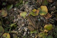 青蛙和leafage 图库摄影