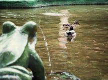 青蛙喷泉和两只野鸭鸭子 免版税库存图片