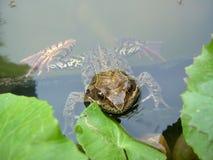 青蛙在叶子之间的池塘 免版税库存照片
