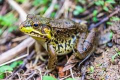 青蛙在尼克松公园在Loganville,宾夕法尼亚 库存照片