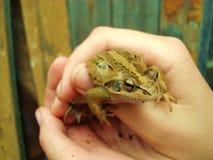 青蛙在手上 从疣的一只绿色蟾蜍 belier 库存照片
