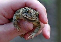 青蛙在手中 图库摄影