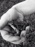 青蛙在手中 免版税库存照片