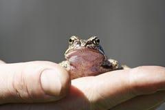 青蛙在手边在灰色背景 免版税库存照片