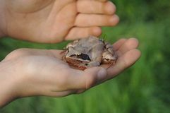 青蛙在手边坐 免版税库存照片