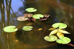 青蛙在有荷花的一个池塘 免版税库存图片