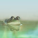 青蛙在有Copyspace地区的池塘 库存照片