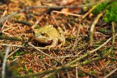 青蛙在森林里 库存图片