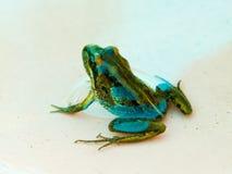 青蛙在水中 库存照片