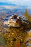 青蛙在水中 E 库存照片