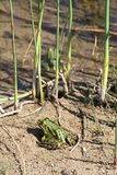 青蛙在池塘,瑞典旁边的阳光下 免版税库存照片