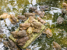 青蛙在池塘养殖的关闭农场 图库摄影