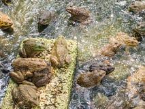青蛙在池塘养殖的关闭农场 库存图片