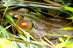 青蛙在池塘 免版税图库摄影