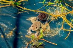 青蛙在池塘 库存照片