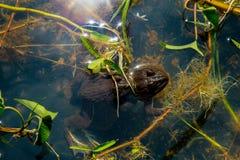 青蛙在池塘 免版税库存照片