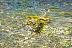 青蛙在河软泥假装了自己 反对绿藻类背景的蟾蜍特写镜头  库存照片