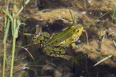 青蛙在白鹅de索姆省 免版税库存图片
