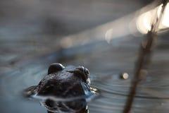 青蛙在水中转回去 库存图片