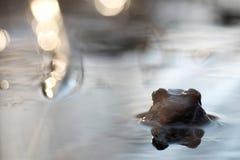 青蛙在水中转回去 免版税库存照片