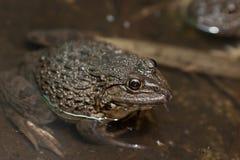 青蛙在水中 免版税库存图片