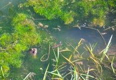 青蛙在水中 图库摄影