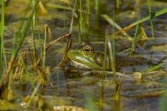 青蛙在水中 免版税库存照片