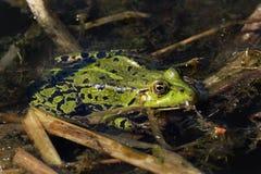 青蛙坐一片叶子在池塘 库存图片