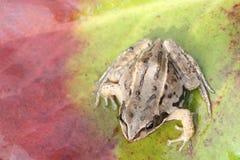 青蛙坐一片绿色潮湿的叶子 库存照片