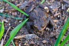 青蛙坐地面关闭  免版税库存图片