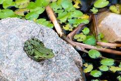 青蛙坐岩石 免版税库存照片