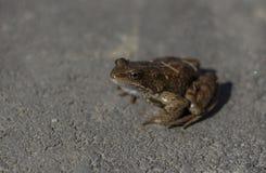 青蛙坐路面 库存照片