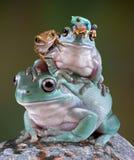 青蛙堆 免版税库存照片
