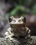 青蛙孔雀结构树 免版税图库摄影