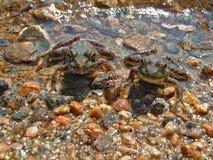 青蛙孪生 免版税库存照片